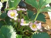 ピンクのイチゴ花!