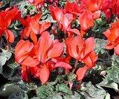 Cyclamen red.jpg