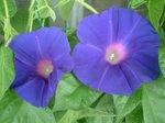 青紫も開花!