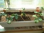 我が家のイチゴ園
