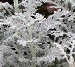 シロタエギクの葉