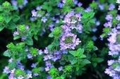 タイムの花